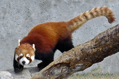 Red Panda photo by njchow82