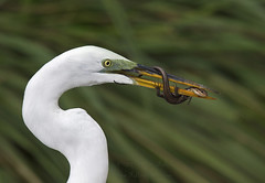 Egret with Eastern Five Lined Skink (5 photo series) photo by Jamie Felton Photo