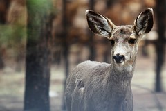 Black Forest Mule Deer photo by Circled Thrice