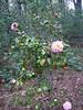 C. japonica 'Betty Cuthbert' (2)