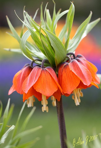 Fritillaria Crown Imperial photo by alanj2007