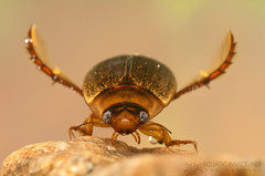 Diving beetle (Rhantus suturalis) photo by Jan Hamrsky