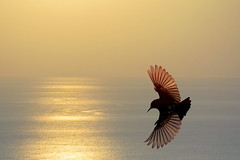 #850E5780 - Golden wings of Purple Sunbird photo by Zoemies...
