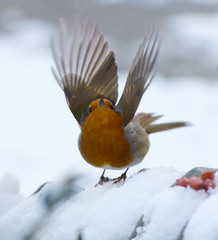 Robin fly away photo by malkv (250,000+ Views Thanks)