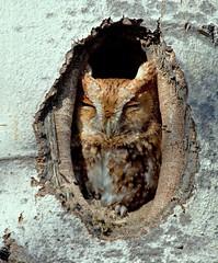 Eastern Screech Owl (Red Morph) photo by Brenda J Hartley