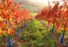 Autumn Vineyard photo by Habub3