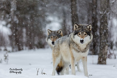 Wolves in falling snow photo by nemi1968
