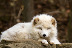 arctic fox photo by Cloudtail