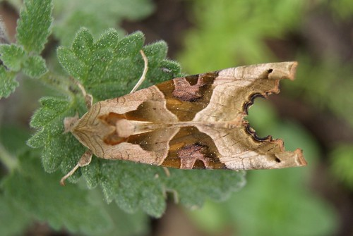 papillon noctuelle La Craintive ou la Méticuleuse ( Phlogophora meticulosa )