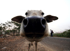 Portrait of Funny Cow !!! photo by bmahesh