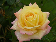 R is for Rose photo by Chrissie2003