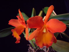 Blc. Orange Show Cloud Forest photo by Inna Glebova