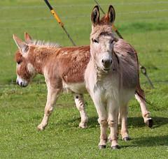 Miniature Donkeys . photo by maggie230