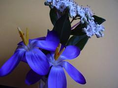 Feb 2012 233 Crocus and Viburnum photo by monica_meeneghan