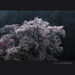 本郷の瀧桜 photo by Eiji Murakami