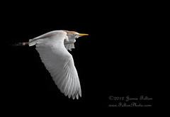Cattle egret in flight photo by Jamie Felton Photo
