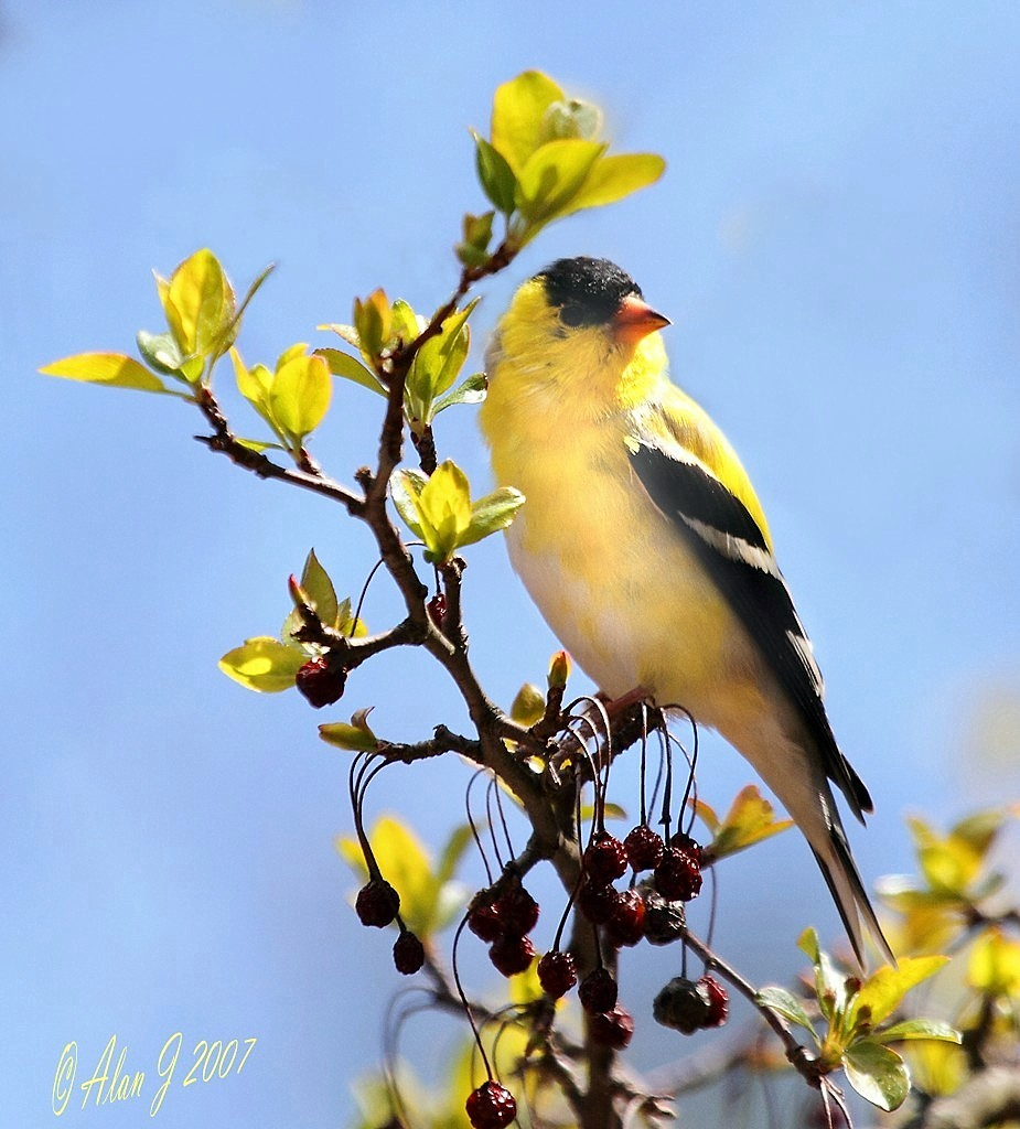 American Goldfinch photo by alanj2007