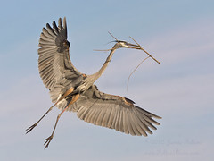 Great Blue Heron in flight photo by Jamie Felton Photo