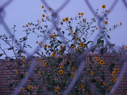 Sunflowers Behind a Chain Link Fence