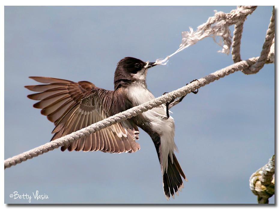 Eastern Kingbird photo by Betty Vlasiu