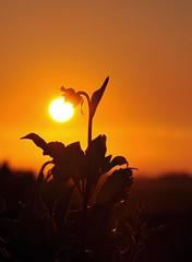 Sun Flower photo by missgeok