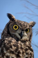 Spotted eagle owl photo by Elizabeth Grieb