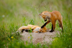 Red Foxes photo by p.l.dove