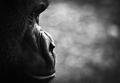 Gorilla - [Explored]