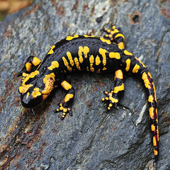 "*Salamandra*. ""Front Page"" of MSA Faves of Animals 10/2012. photo by CANóNIGA"