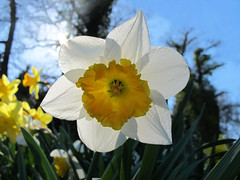 Backlighted Narcissus  - HAPPY EASTER !!! photo by Batikart