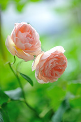 Rose'Heritage' photo by myu-myu