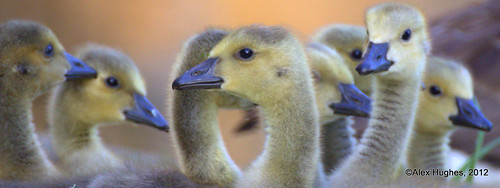 Bird Panoramic 5 - Canada Goose Goslings photo by Rednaxela13