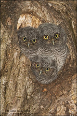 Screech Owl Siblings photo by Greg Schneider (gschneiderphoto.com)