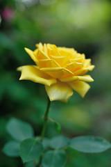 Rose '光華' photo by myu-myu