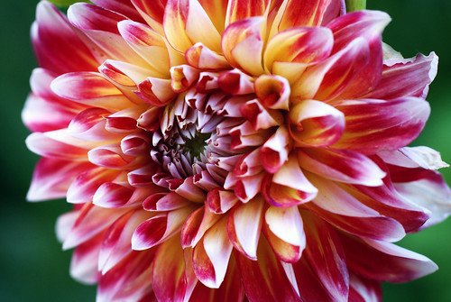 Red and White Dahlia photo by j man.