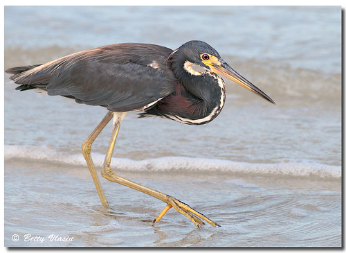 Tricolored Heron photo by Betty Vlasiu