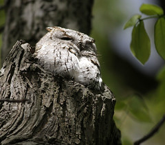 Screech Owls - May 6, 2012 photo by hbp_pix