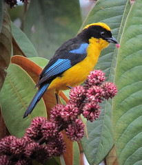 Anisognathus somptuosus / Tangara primavera / Blue-winged Mountain-Tanager photo by felixú