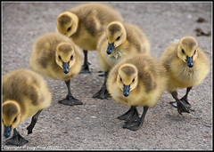 The march of the chicks photo by Doug Price.
