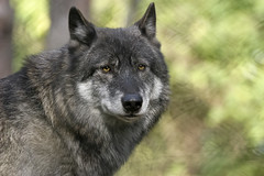Wolf photo by wwmike
