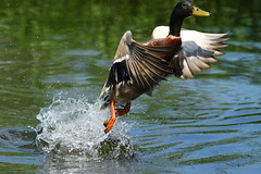Mallard 737 - Cleared for takeoff !! - High Point City Lake Guilford County North Carolina photo by fazer53
