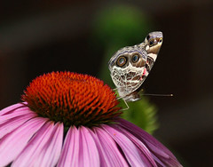 Beautiful Painted Lady Butterfly on a Cone Flower - Glenola North Carolina - Randolph County photo by fazer53