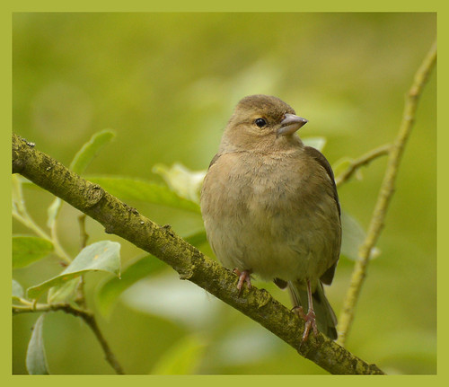 Female Chaffinch photo by bernard60