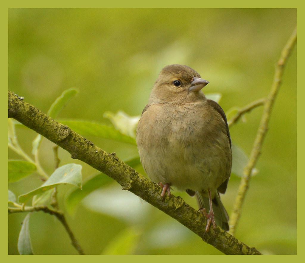 Female Chaffinch photo by bernard60
