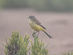 Iberian Yellow Wagtail, Castro Marim (Portugal), 27-Apr-06