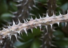Killer Thorns