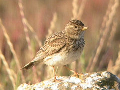 Lesser Short-toed Lark, Castro Marim (Portugal), 1-May-06