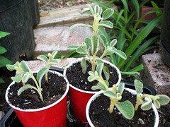 Jerusalem Sage Cuttings