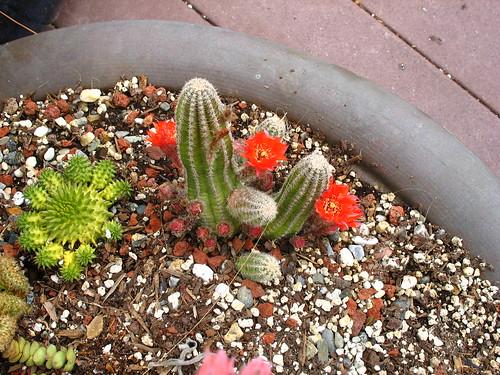 Rock garden flower