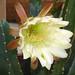 Cereus (3218)